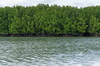 Mangrove trees along the waters edge