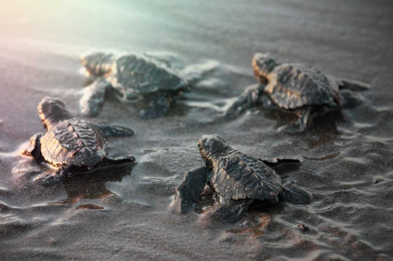 Baby Sea Turtles crawling toward the water